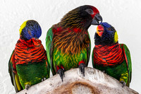 Lorikeet, Brush Tongued Parrot 1