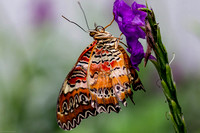 Lacewing Butterfly 1