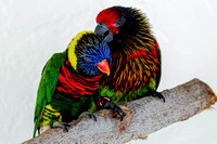 Lorikeet, Brush Tongued Parrot 2
