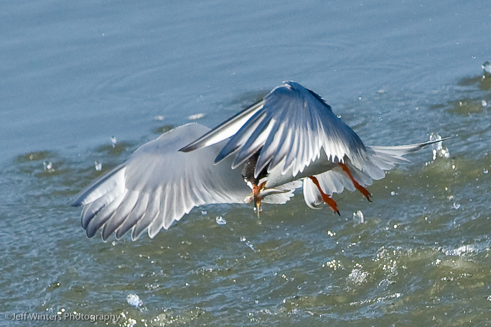 Common Tern 3