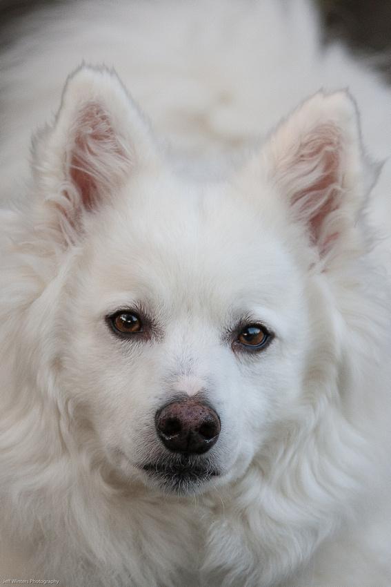American Eskimo Dog 01